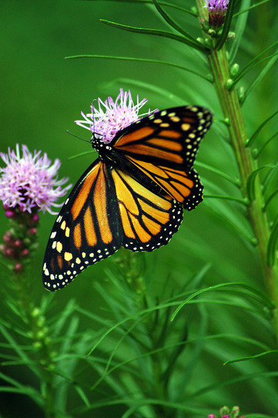 This Monarch teeters on the edge of a Blazing Star.